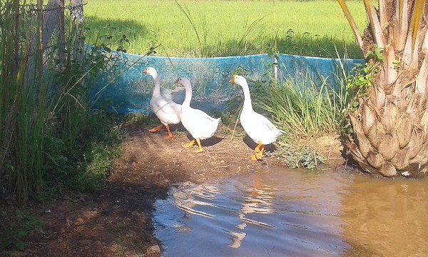 Geese on our farm in Thailand. Keeping free range geese.