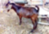 kalahari red buck goat.jpg