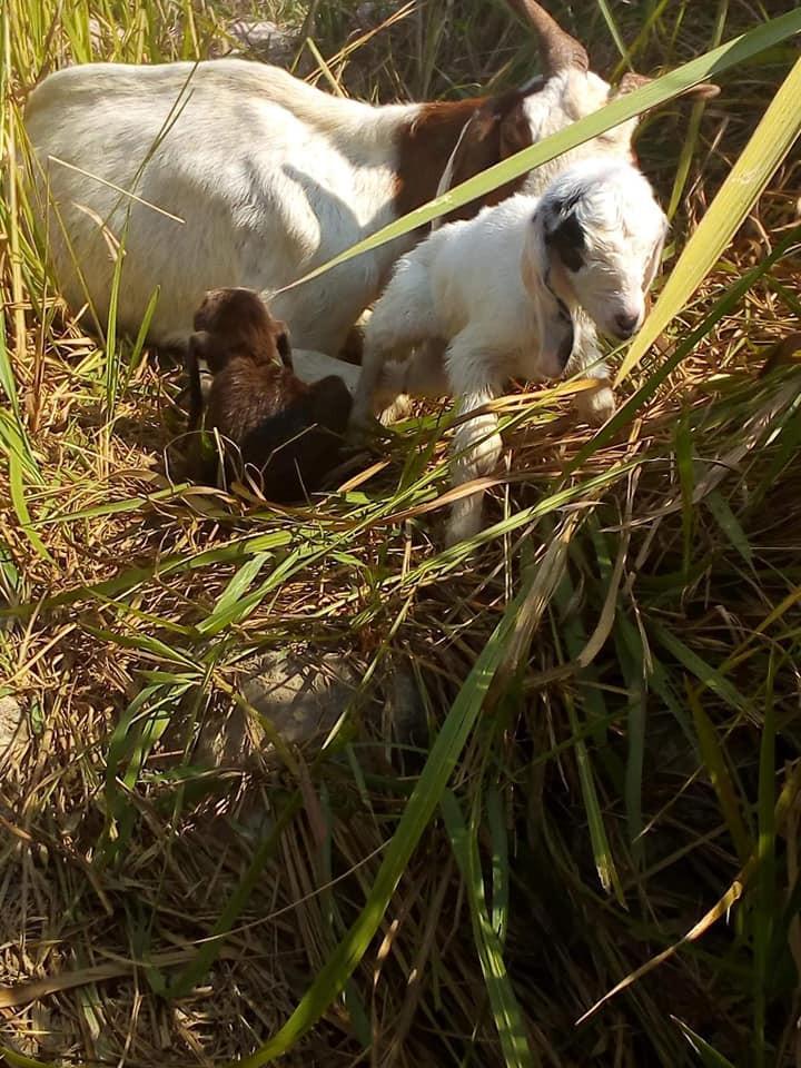 Nanny goat & her new born twin kids.