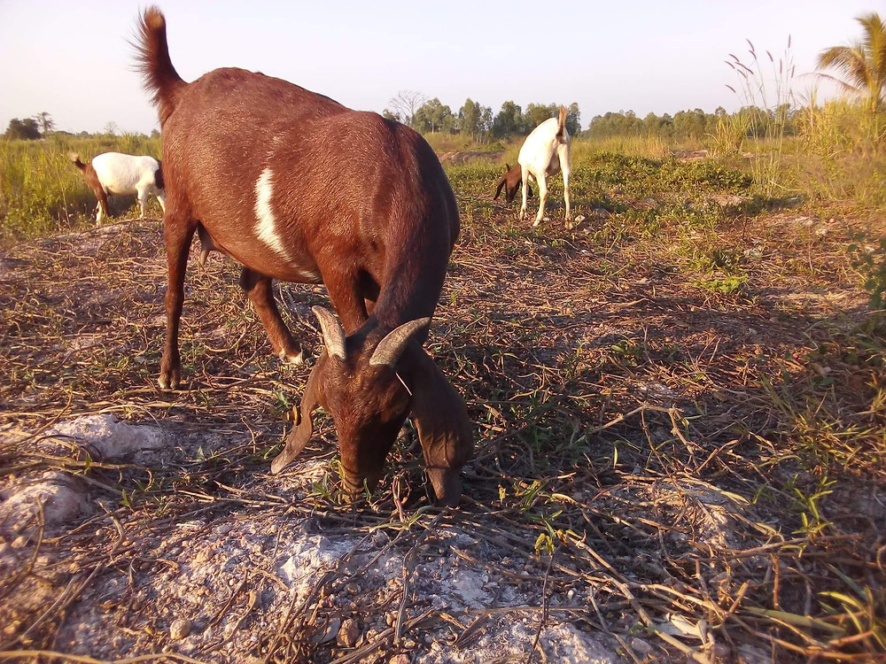large brown mixed breed goat eating