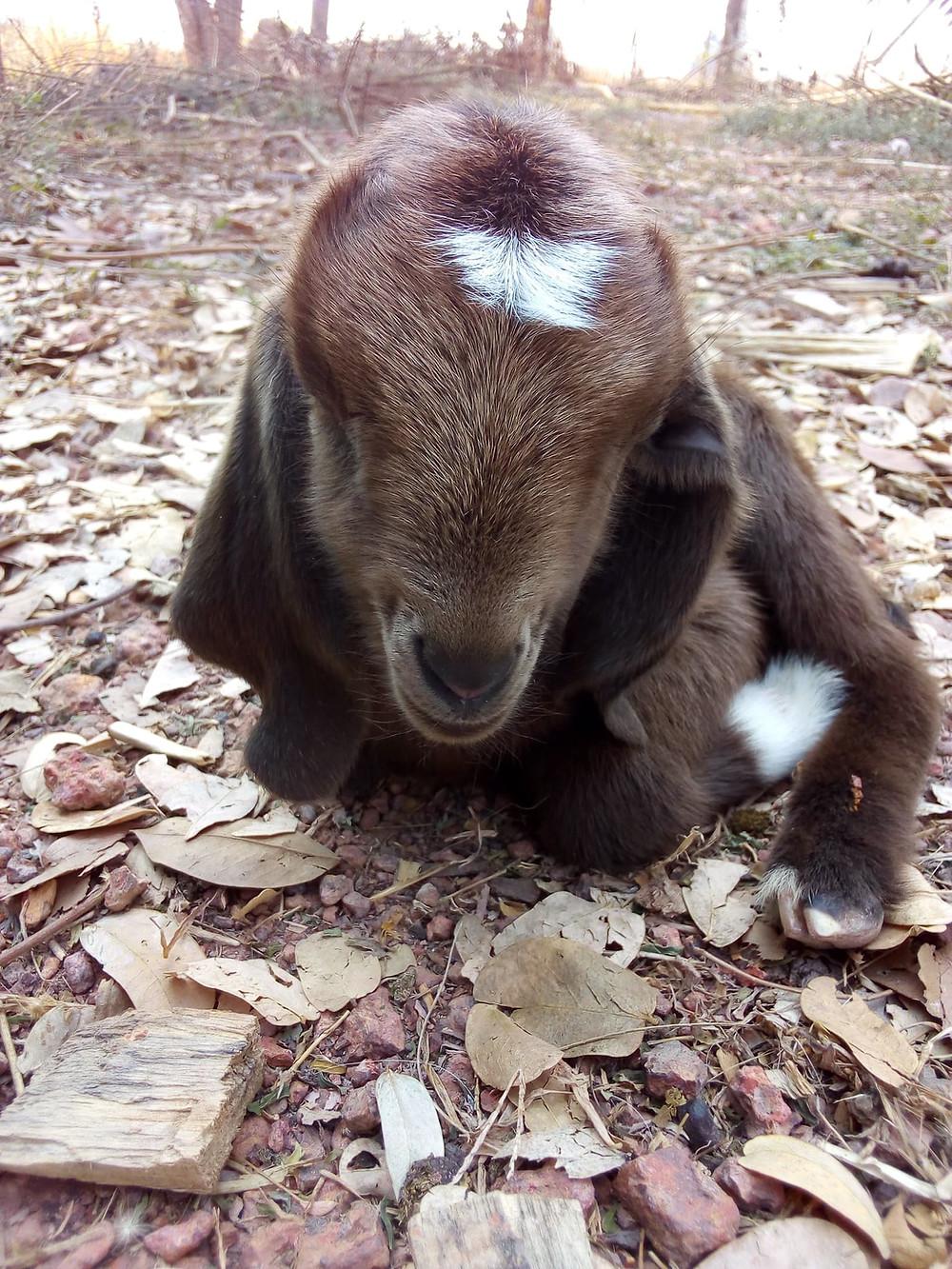 mixed breed kid goat