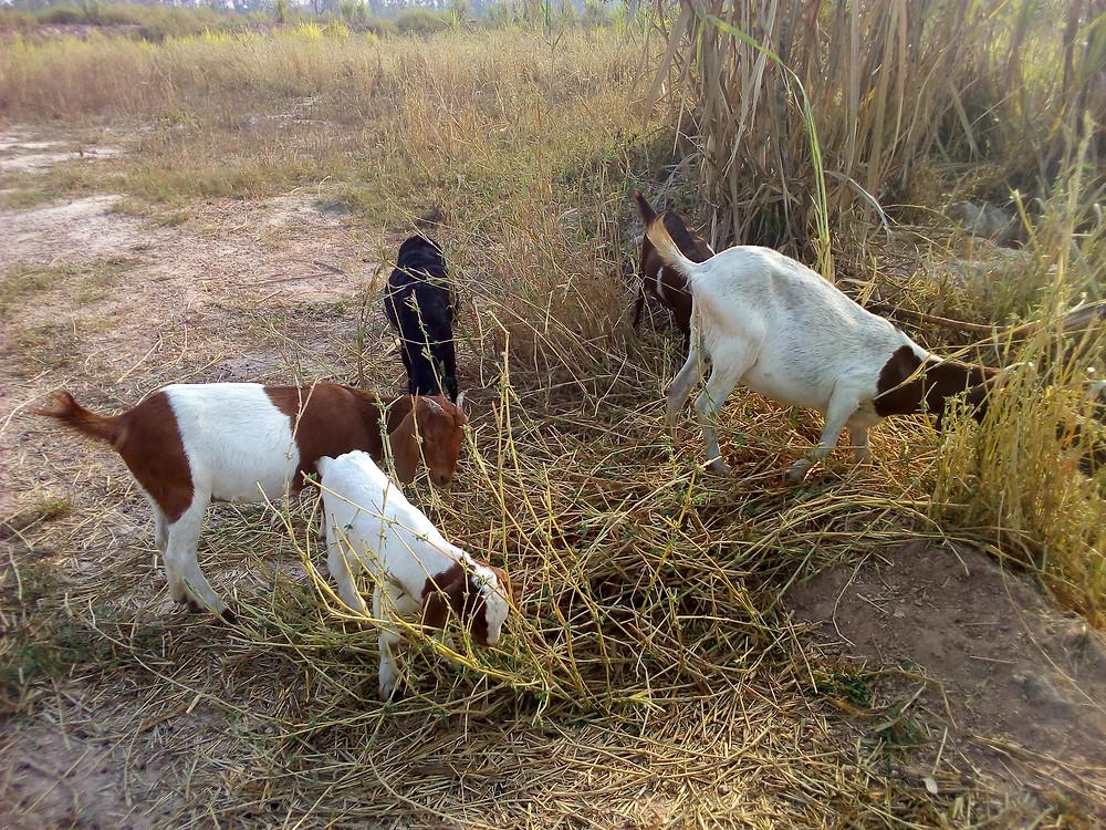 goats on a thai farm