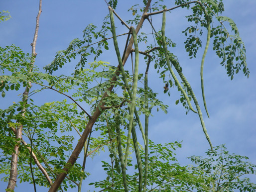 Moringa the best tree on  earth (The Miracle Tree)