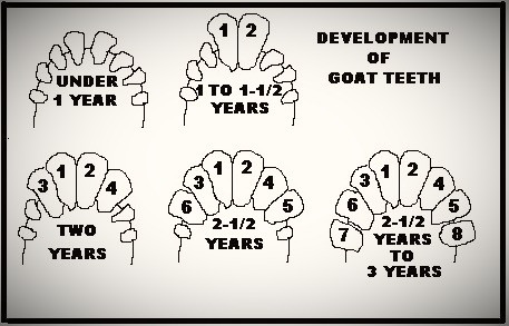How to check a goats age teeth diagram