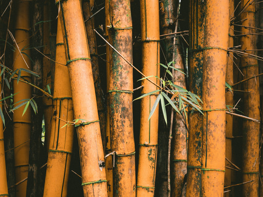 Growing bamboo in Thailand: The best plant on earth?