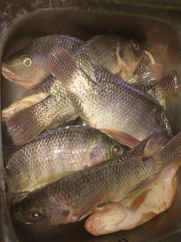 A sink full of tilapia in Thailand. Ready to be gutted and cleaned.