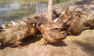 Are Khaki Campbell Ducks The Best Breed For You To Keep
