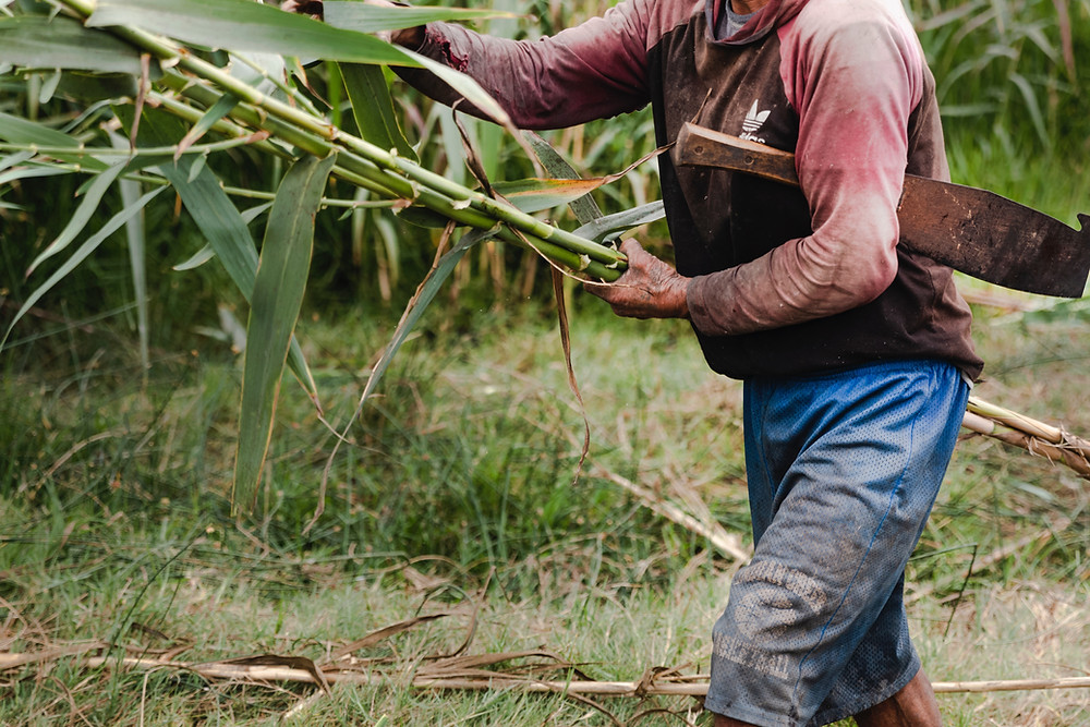 Cutting bamboo on a farm in Thailand.