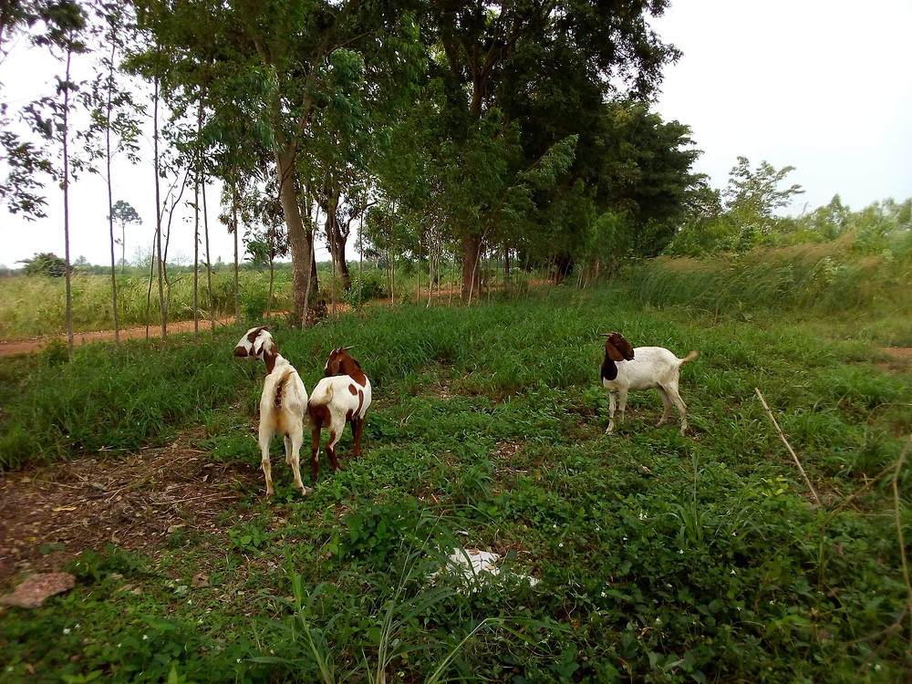 a goat herd eating green vegetation
