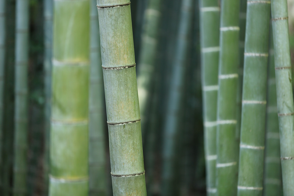 Green bamboo growing on a farm in Thailand.