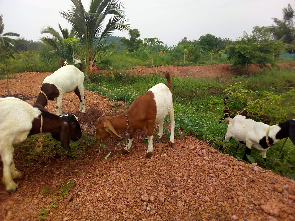 a herd of goats browsing together