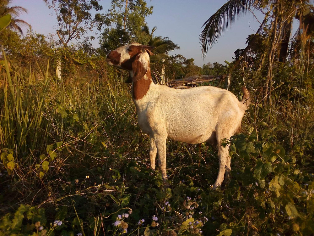 large white and brown mixed breed adult goat doe