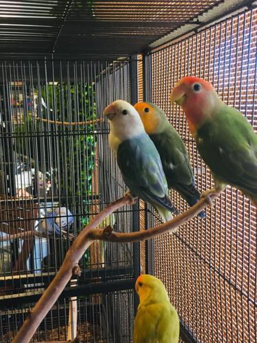 Handraised Lovebirds