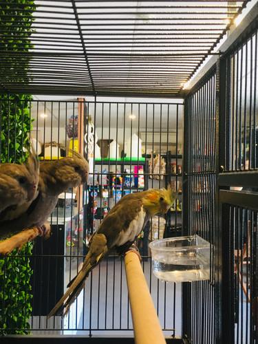 Handraised Cockatiels