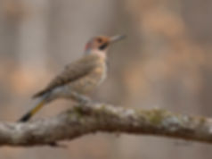 Northern Flicker - yellow shafted - male