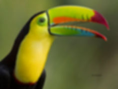 Keel-billed Toucan - portrait 1.jpg