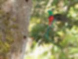 Resplendent Quetzal 5.jpg