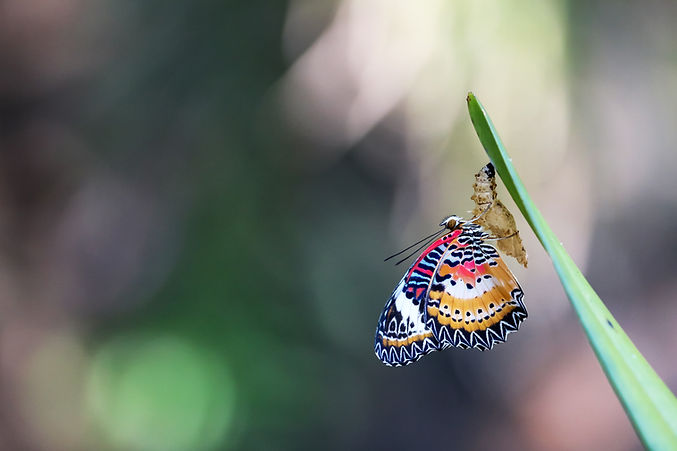 Leopard Lacewing Butterfly perched on Ch
