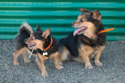 Mini Boarding Dogs in Yard