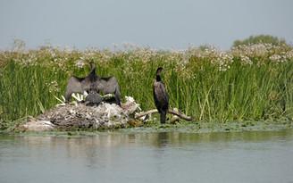 Danube Delta - Cormorans