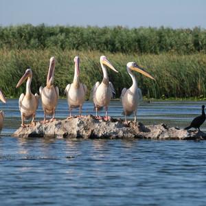 Colonie de pelicani albi