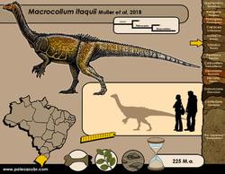 Macrocollum itaquii