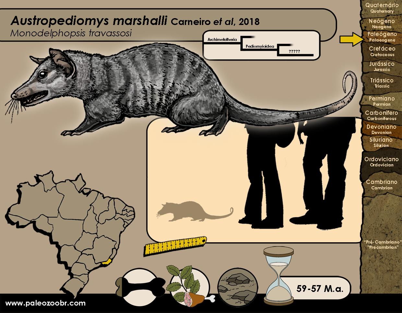 Austropediomys marshalli