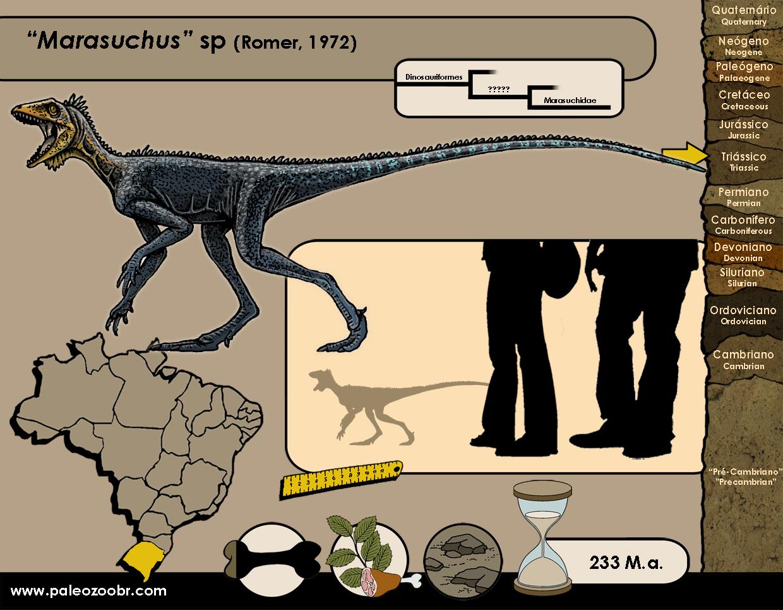 Marasuchus sp