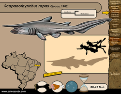 Scapanorhynchus rapax
