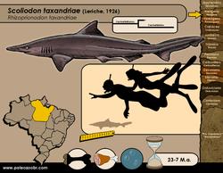 Scoliodon taxandriae