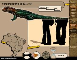 Paradracaena sp