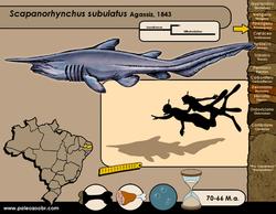 Scapanorhynchus subulatus