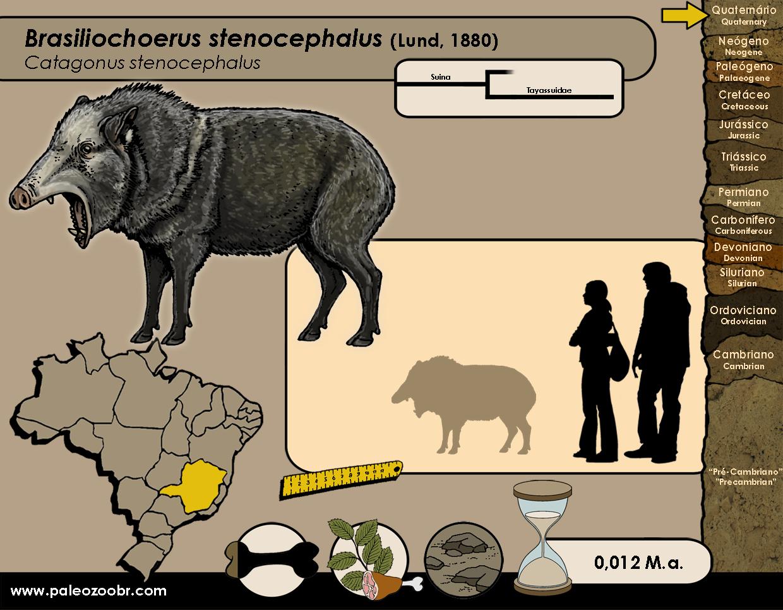 Brasiliochoerus stenocephalus