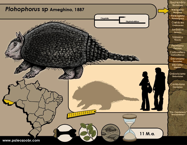 Plohophorus sp