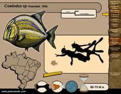 Coelodus sp
