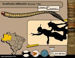 Gnathodus bilienatus