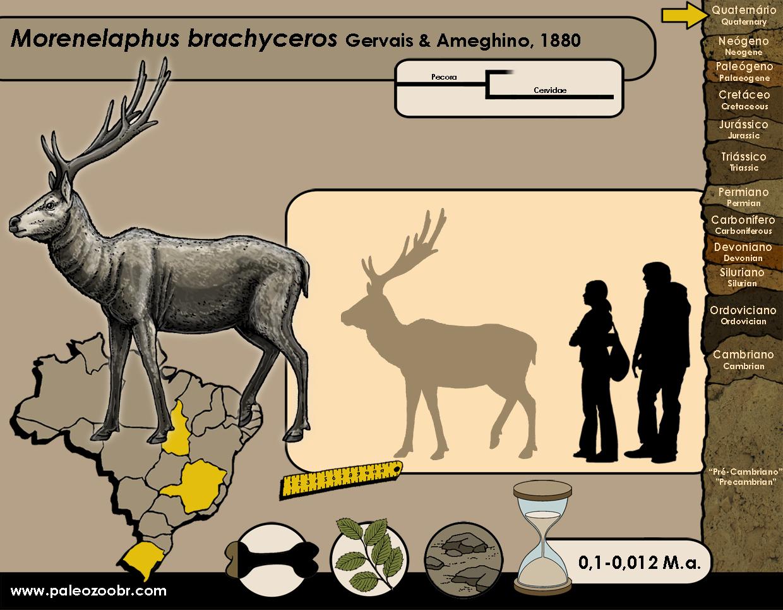 Morenelaphus brachyceros