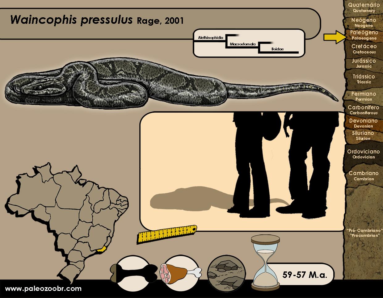 Waincophis pressulus
