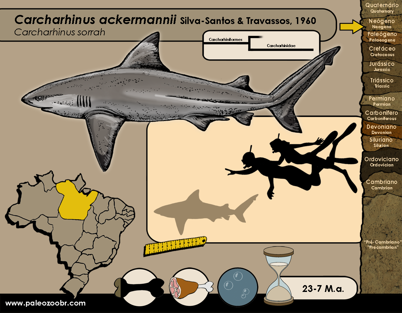 Carcharhinus ackermannii