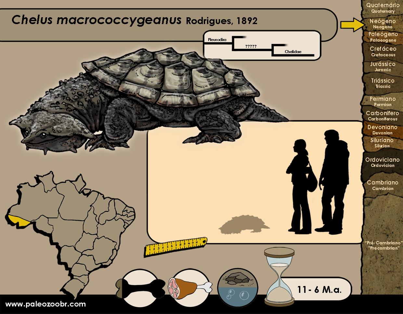 Chelus macrococcygeanus