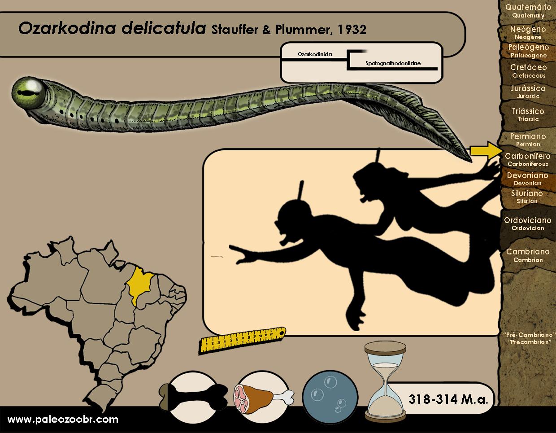 Ozarkodina delicatula