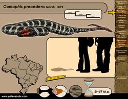 Coniophis precedens