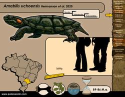 Amabilis uchoensis