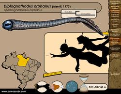 Diplognathodus orphanus