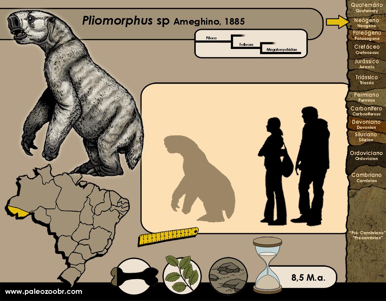Pliomorphus sp