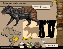 Cuniculus major