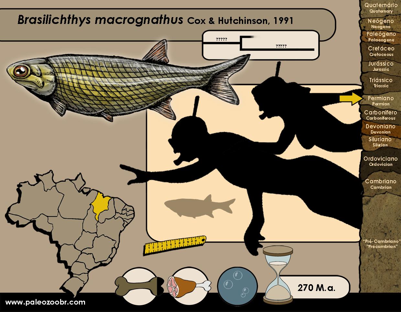Brasilichthys macrognathus