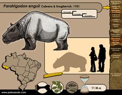 Paratrigodon enguii