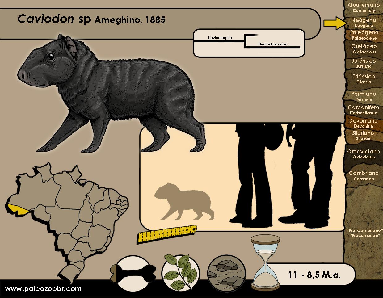 Caviodon sp