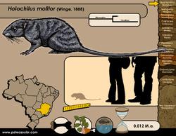 Holochilus molitor
